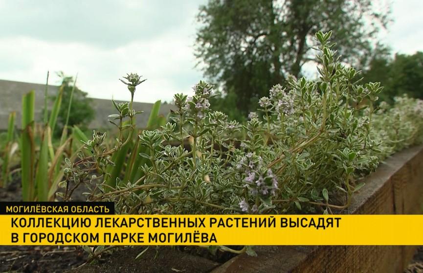 Старинный аптекарский сад восстанавливают в городском парке Могилёва