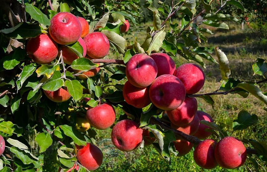 Белорусские учёные создали агрегат для уборки плодовых культур