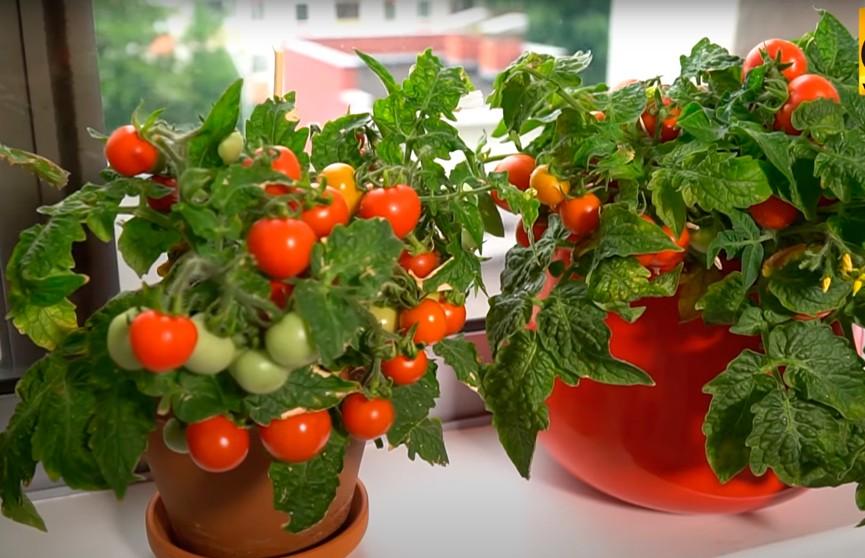 Карликовые помидоры для космоса и четырехцветный перец.  Как выглядит балкон городского огородника из Минска?