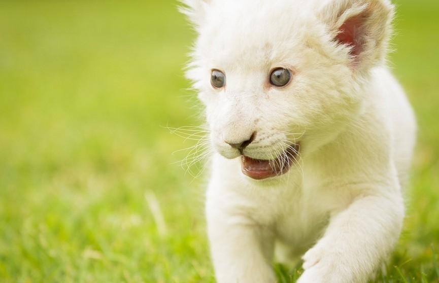Редкий белый львёнок родился в зоопарке Венгрии