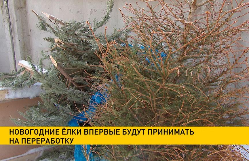 Новогодние ёлки в Минске впервые будут принимать на переработку