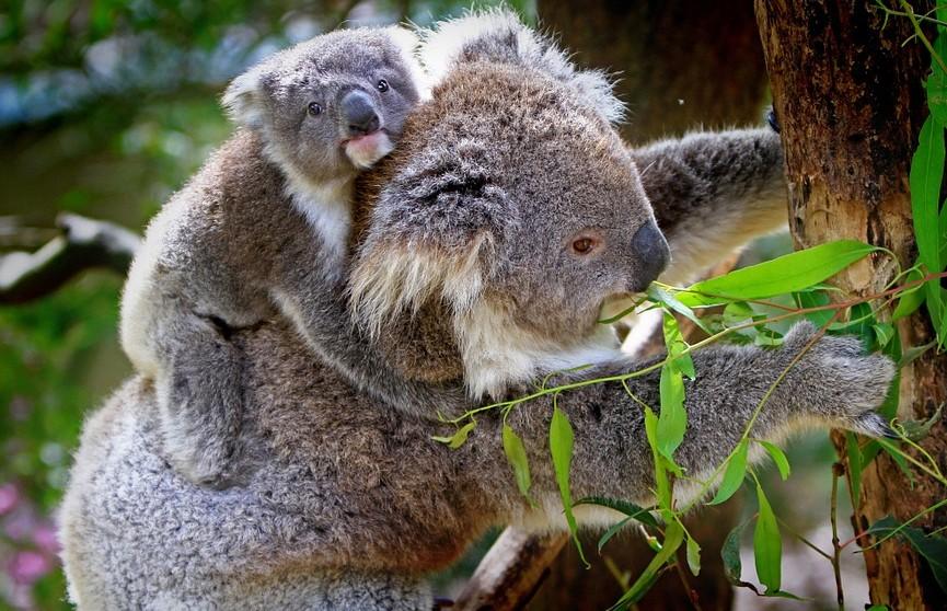 Популяция коал в Австралии за последние 3 года сократилась на 30%