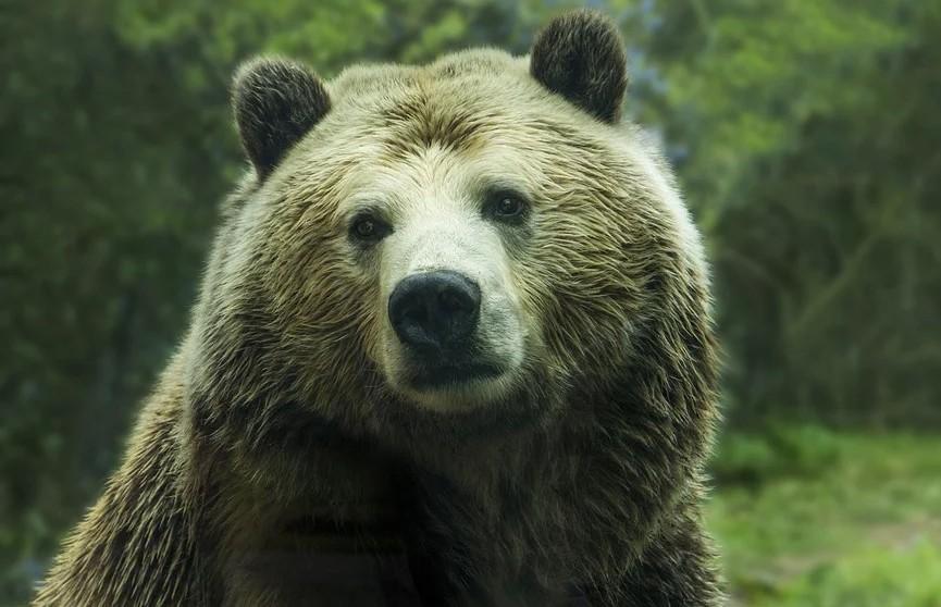 На Сахалине медведь сбил снимавший его беспилотник