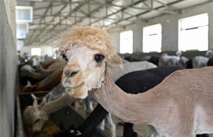 ФОТОФАКТ: альпака постригли к лету в Китае. Только взгляните, какие милые