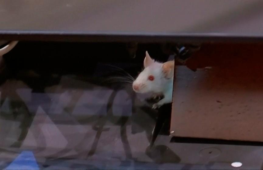 Крысы приостановили работу Сената в Колумбии