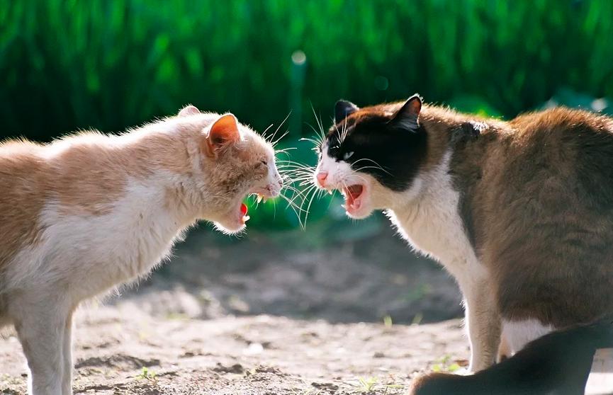 Видео, которое рассмешило Сеть до слез: хозяин хотел помирить двух злых котов, но все пошло не по плану
