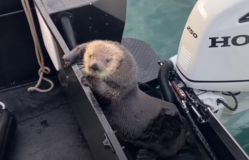 Морская выдра спаслась от косаток на лодке и попала на видео