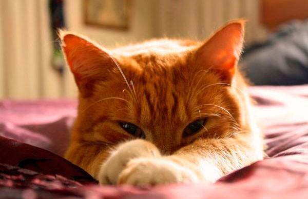 «Бедный тигр!»: рыжий кот напугал полосатого хищника агрессивным поведением (ВИДЕО)