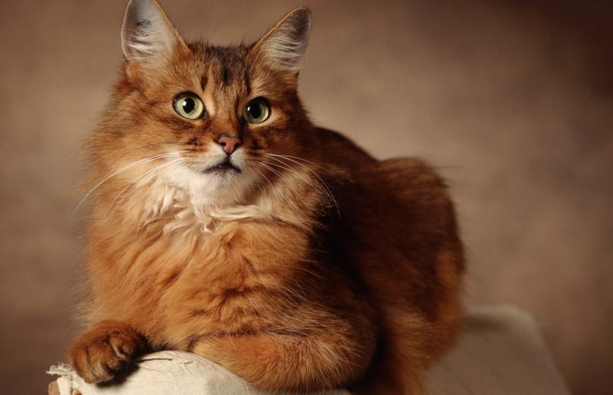 Кот прошел 20 км в поисках бросивших его хозяев, но они попросили его усыпить