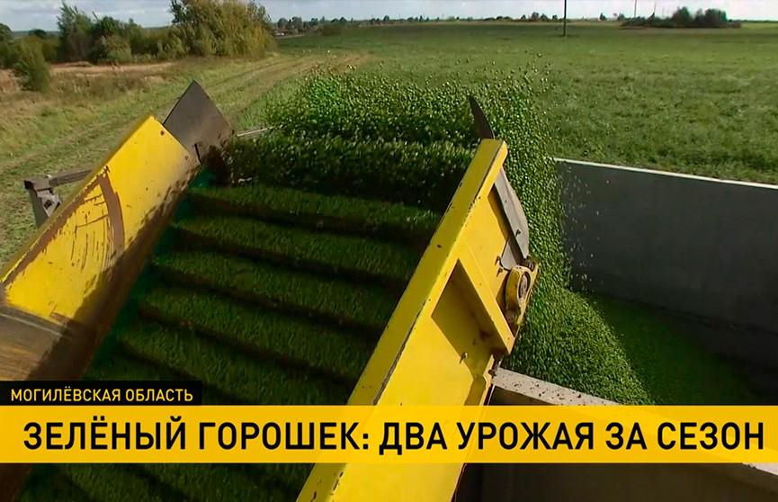 Два урожая зелёного горошка за сезон собрали в Могилёвской области