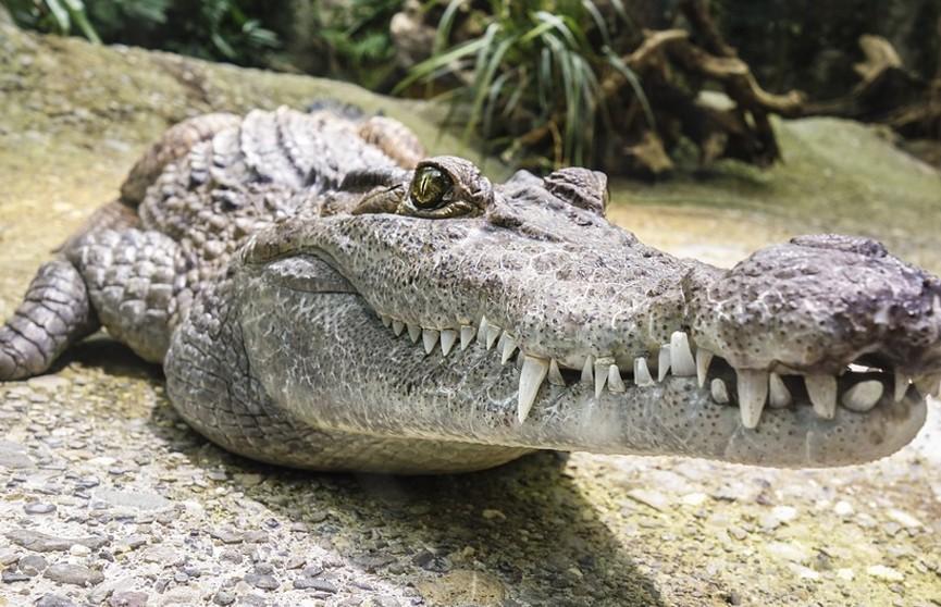 Голодный аллигатор выпрыгнул из вольера к ногам кормившей его смотрительницы и попал на видео