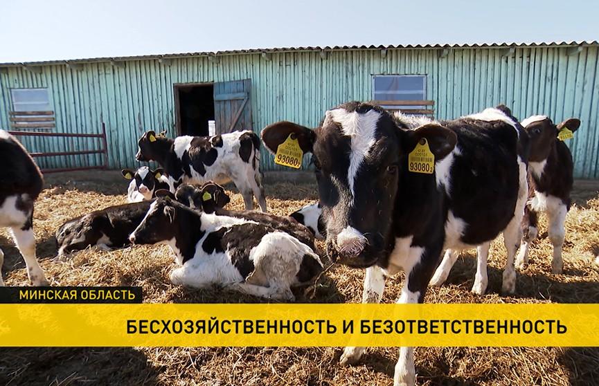 Госконтроль установил случаи хищения и сокрытия падежа крупного рогатого скота  в Минской области