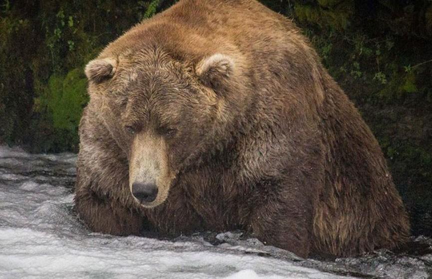 Самого толстого медведя выбирают на Аляске
