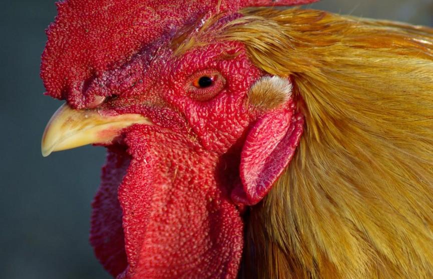Беларусь ограничила ввоз птицы из Венгрии из-за птичьего гриппа