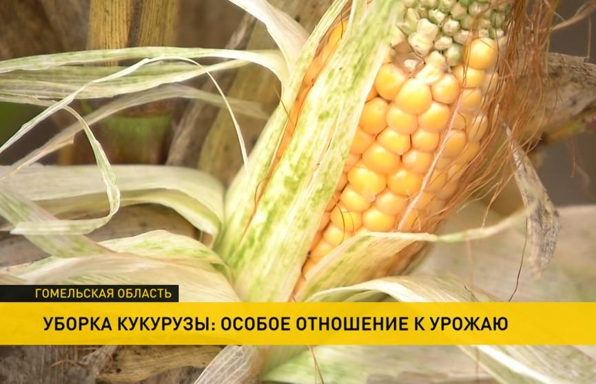 Урожай-2020: кукурузу уже убрали с 70% площадей – как проходит работа в поле?