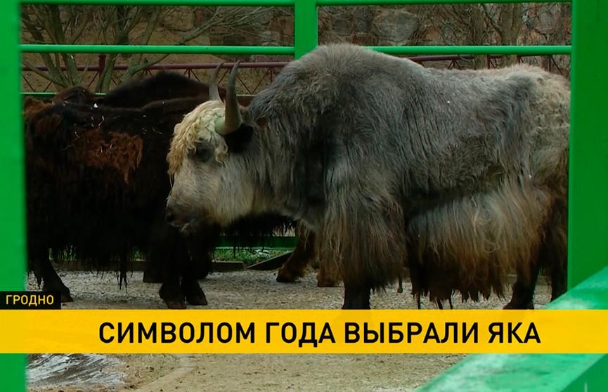 В Гродненском зоопарке выбрали живой символ наступающего года. Им стал як Дымок