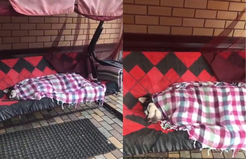 Храпящий охранник: хаски уснул на даче и до слез рассмешил Сеть
