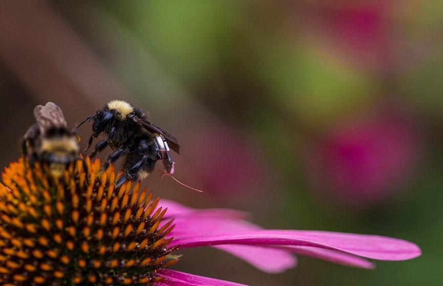 Нанорюкзак для пчёл изобрели в США