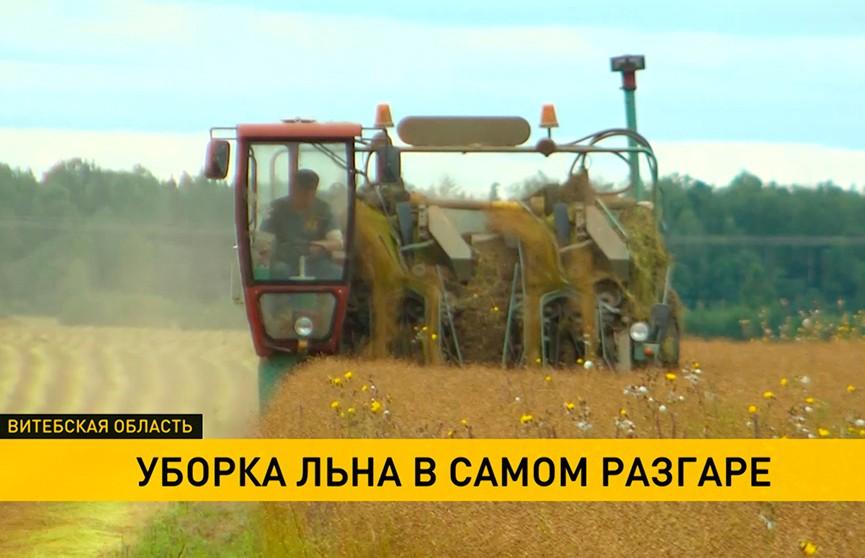 Более 40% площадей льна убрали в Витебском регионе