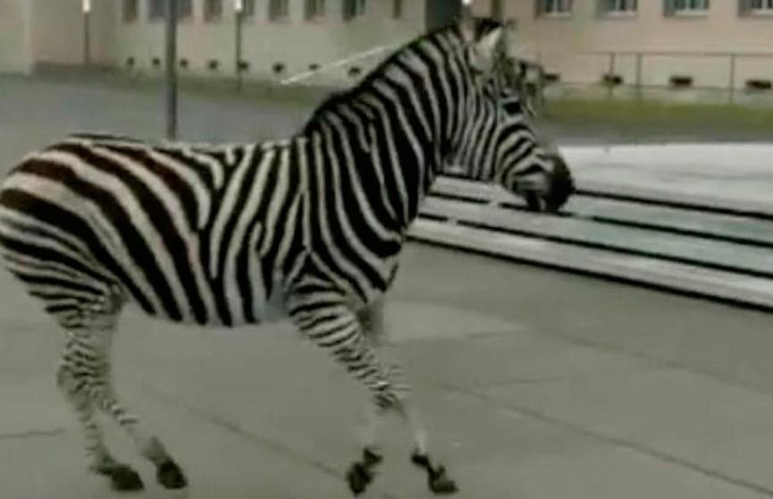 Немецкая полиция несколько часов ловила сбежавших из цирка зебр (ВИДЕО)
