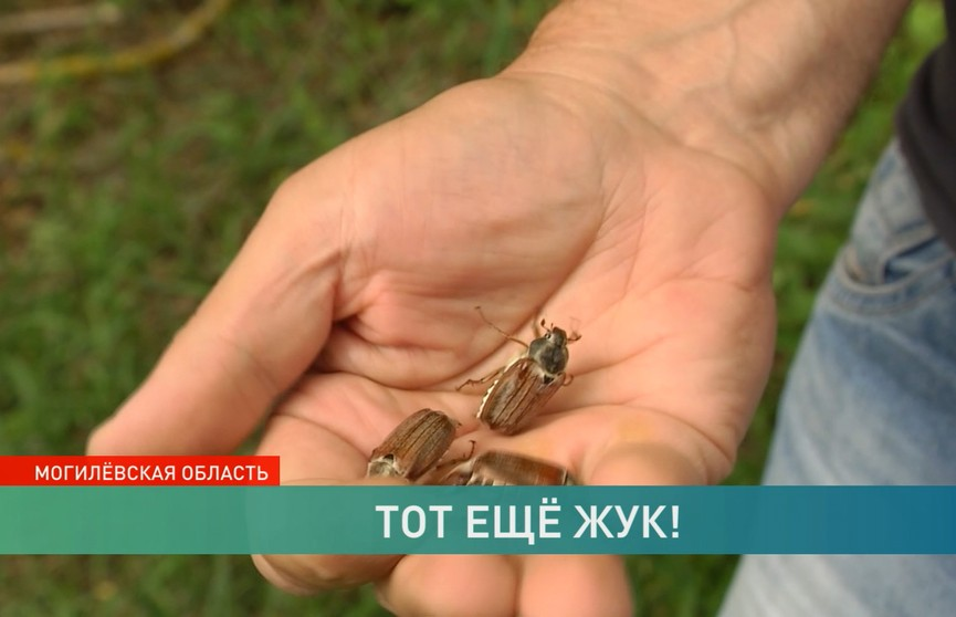 Норма или аномалия? Могилёв подвергся нашествию майских жуков