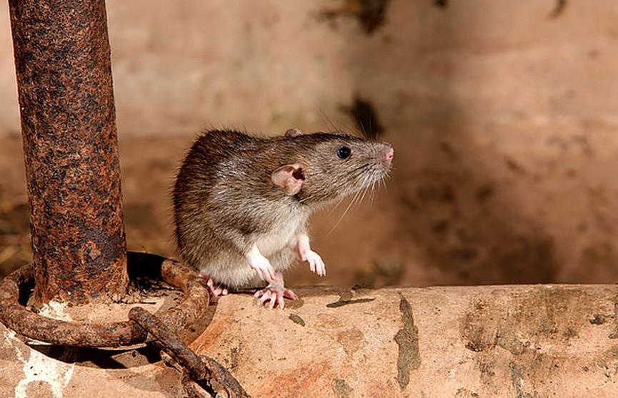 В минской многоэтажке девочку покусала крыса