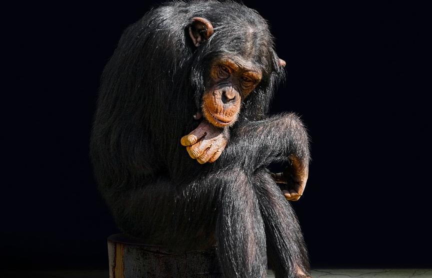 Британские ученые обнаружили у шимпанзе зачатки речи