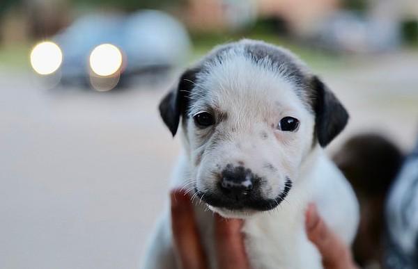 Копия Дали: в США нашли щенка с «усами», как у испанского художника (ФОТО)
