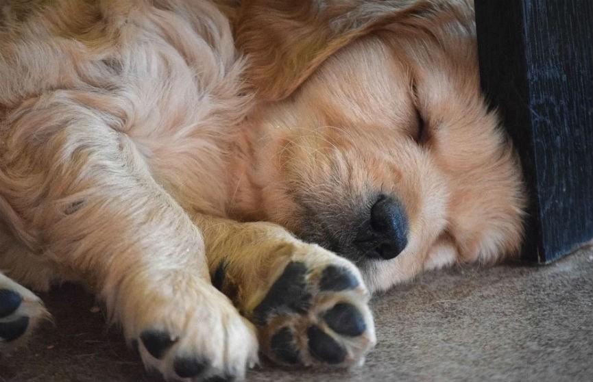 Видео, где щенок засыпает под колыбельную маленькой девочки, умилило Сеть