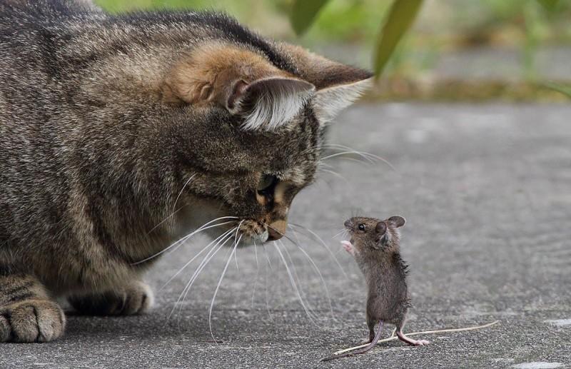Мал, да удал: бесстрашная мышь дала отпор коту, повергнув его в шок (ВИДЕО)