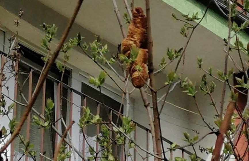 В Кракове висевший на дереве круассан несколько дней держал в страхе жителей дома