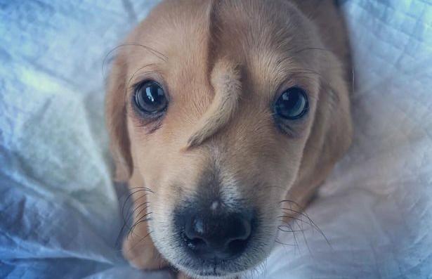 «Маленький волшебный пушистый единорог»: в США нашли щенка с «хвостом» на лбу