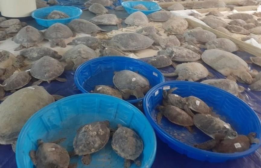 В Техасе волонтеры спасли более 4000 морских черепах, которые пострадали из-за аномальных заморозков