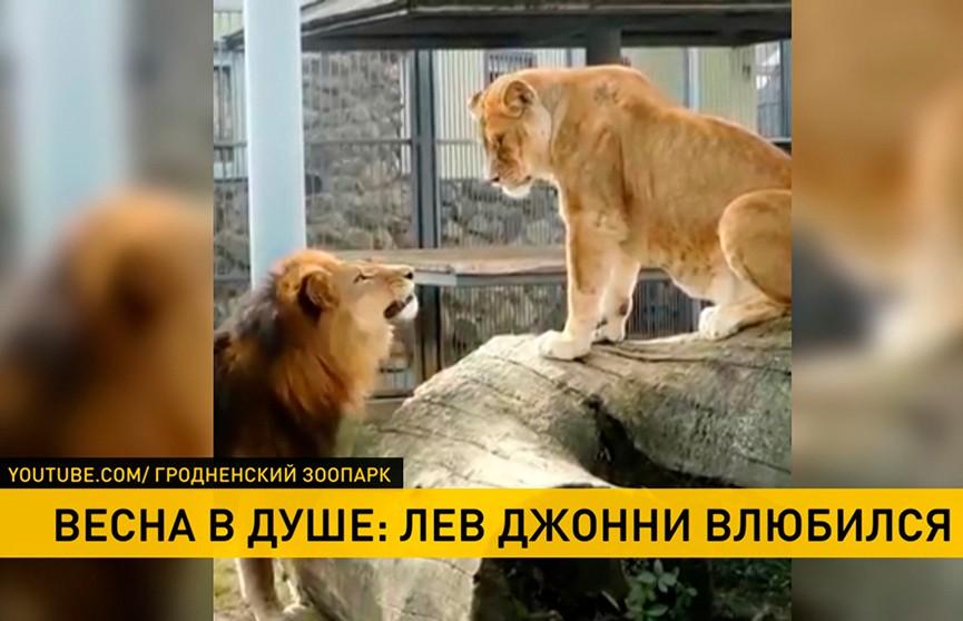В Гродненском зоопарке влюбился лев Джонни