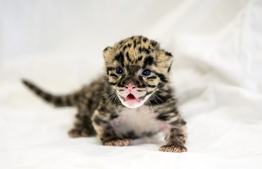 Какие милые котики! Редкие дымчатые леопарды появились в зоопарке Вашингтона (ВИДЕО)