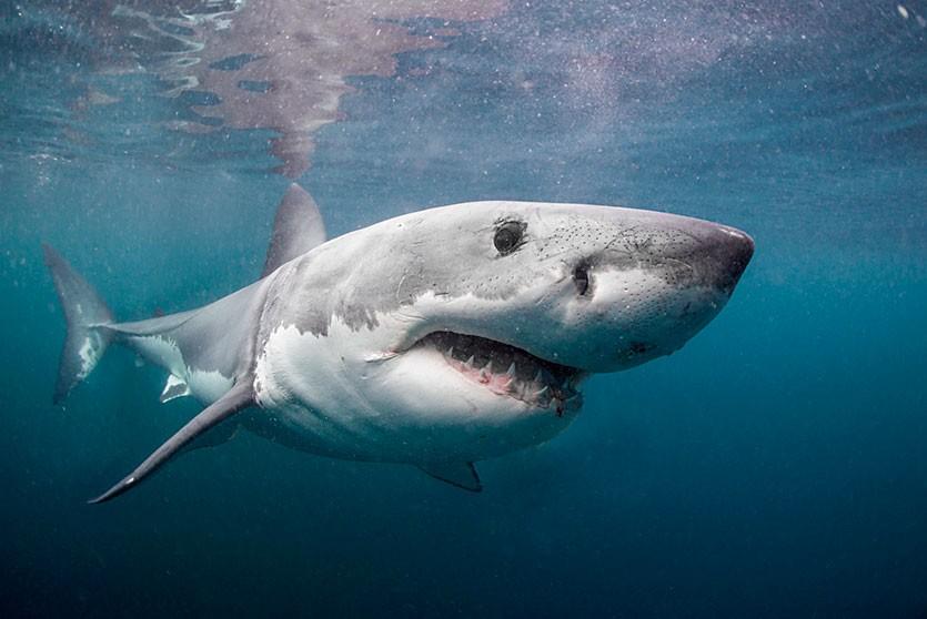 Акула-людоед напала на дайверов в Мексике. Все закончилось трагично… для акулы (ВИДЕО)