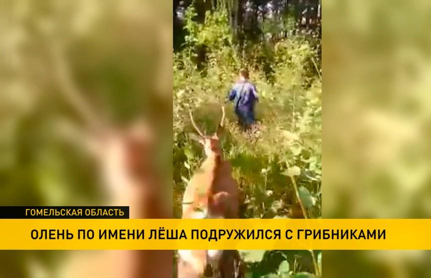 Олень по имени Лёша подружился с грибниками из Жлобина (ВИДЕО)