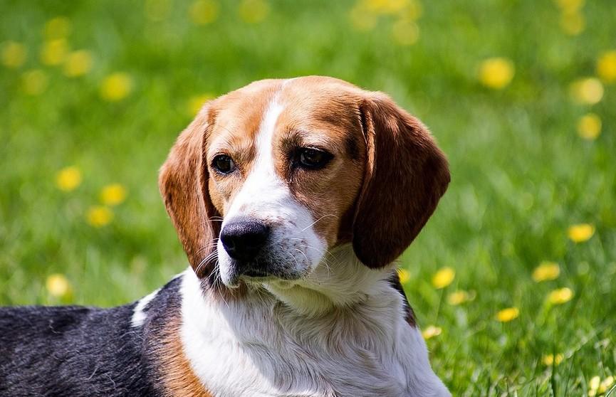 Могилевчанка украла чужую собаку и разместила объявление в интернете о ее продаже