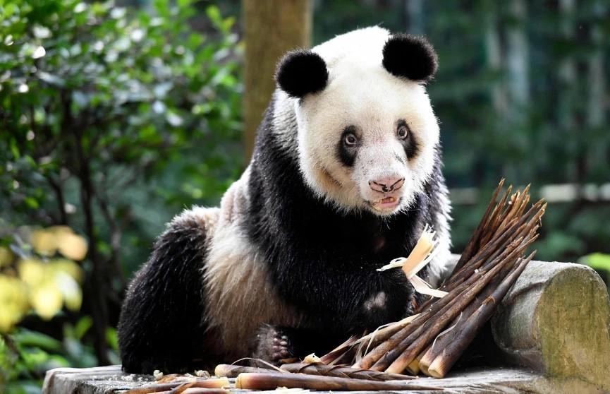 В зоопарке китайского города Чунцин умерла 38-летняя панда Синь Син.