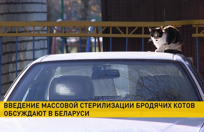 Введение массовой стерилизации бездомных котов могут ввести в Беларуси