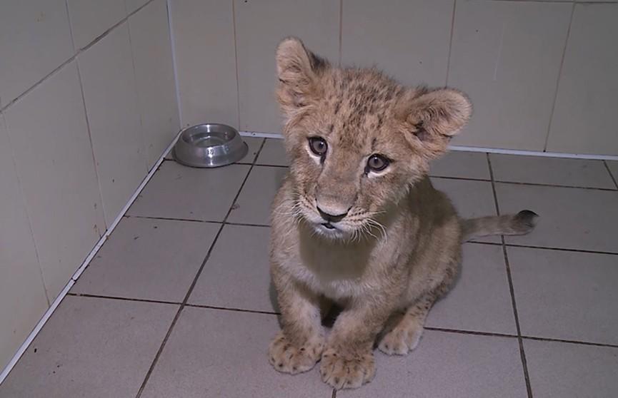 В Гродненском зоопарке подрастает львица Джина. Весной ее увидят посетители