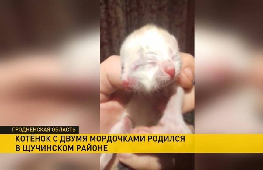Котёнок с двумя мордочками родился в Щучинском районе (ВИДЕО)