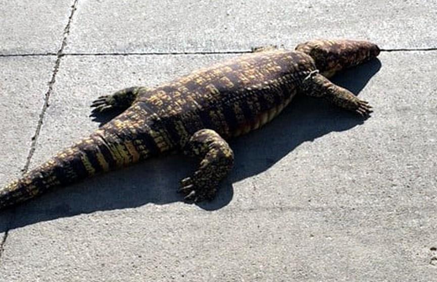 Плюшевый аллигатор держал в страхе жителей Айовы: никто не знал, что он игрушечный