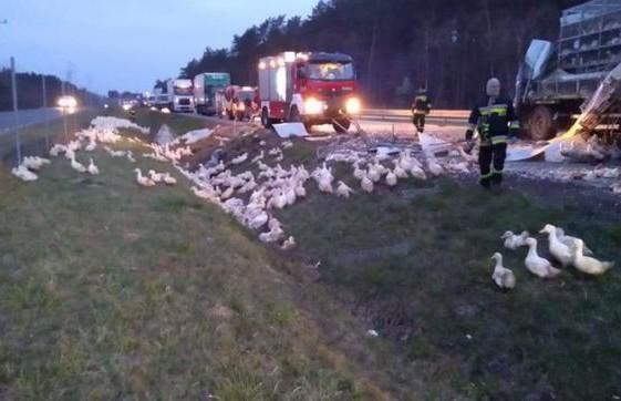 Десятки уток оказались в канаве после ДТП в Польше