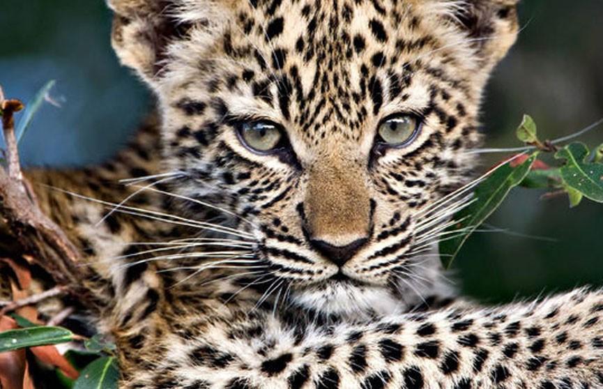 Леопард напал на ребёнка в цирке в Москве