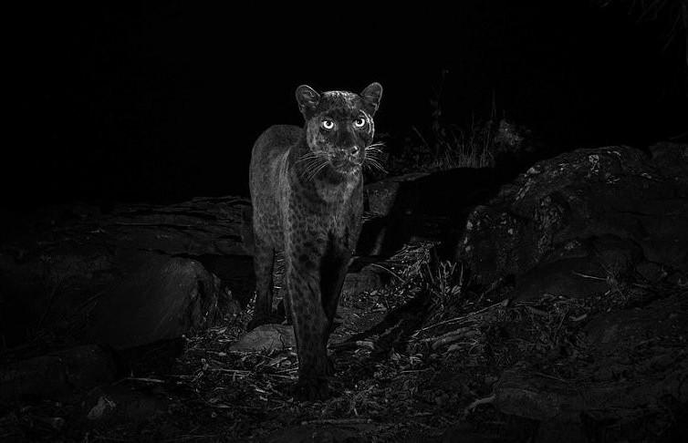 Редчайший чёрный леопард попал на видео. Он восхитителен