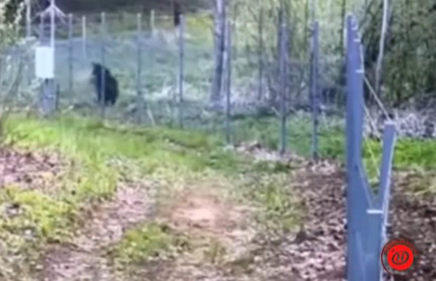Медведь попытался прорваться сквозь белорусско-литовскую границу (ВИДЕО)