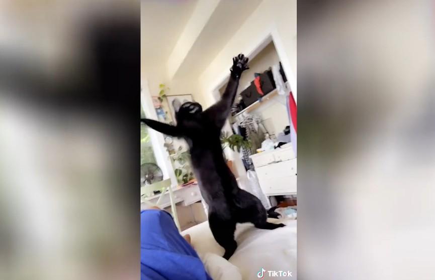 Зажигательный танец кота восхитил интернет-пользователей