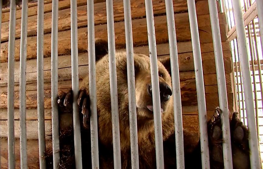 Медведь Фёдор пророчит белорусам скорую весну