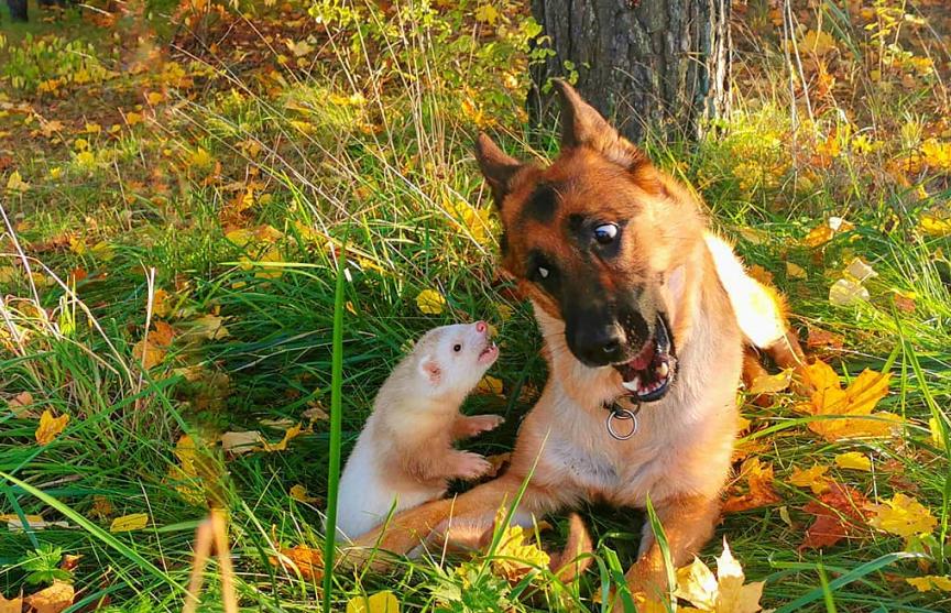 Немецкая овчарка и хорек подружились и покорили пользователей Сети теплыми чувствами